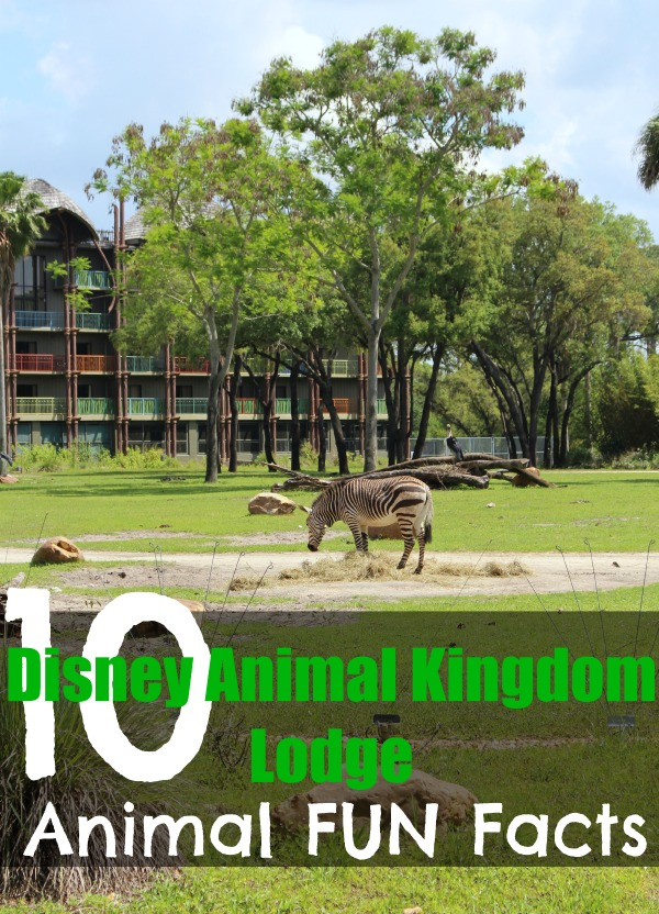 Disney animal kingdom lodge fun facts