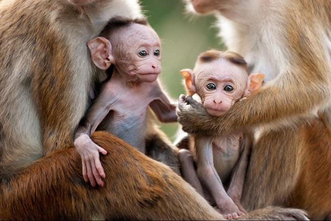 Monkey kingdom movie in theaters now