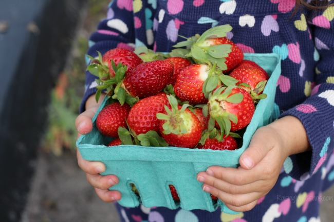 Strawberry patch haul