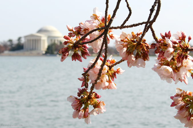 DC cherry blossoms tips